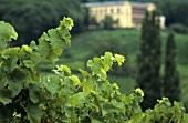 Reben vor der Villa Ludwigshöhe, Edenkoben, Pfalz, Deutschland