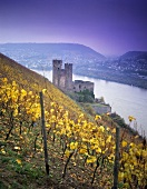 'Berg Schlossberg', Rüdesheim with Ehrenfels ruins, Rheingau, Germany