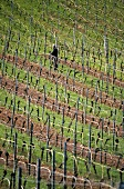 Tying in the vines, 'Nackenheimer Rotenberg' Einzellage, Rheinhessen, Germany