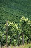 'Stettener Pulvermacher' vineyard, Remstal, Württemberg, Germany