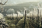Rows of vines with hoar frost, winter in Alsace, France