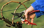 Wine-grower pruning a vine