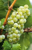 Weissburgunder grapes (Pinot blanc) hanging on the vine