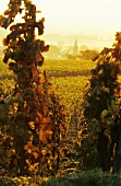 Landscape of vines in autumn with view of Forst, Palatinate