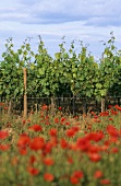 Vines with poppies in the foreground