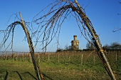 Grafted vines near Bad Dürkheim with tower, Palatinate