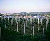 Aleksandrovic, a young vineyard, Topola-Oplenac, Serbia