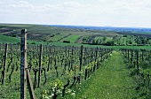 Vineyards near Bojetice, Czech Republic