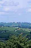 Landscape of vines near Jeruzalem, Slovenia