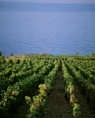 Vineyards near Zavala, island of Hvar, Croatia