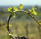 Austrieb einer Weinrebe im Frühjahr