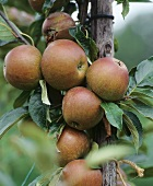 Apples, variety 'Cox's Orange Pippin', on the tree