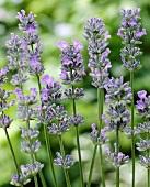 English lavender (Lavandula angustifolia)