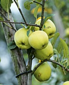 Golden Delicious apples on the tree