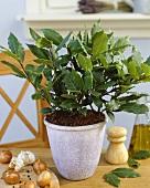 Bay plant in flowerpot