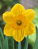 Narcissus 'Mary Bohannon'