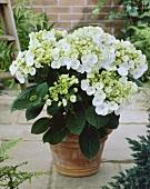 Hydrangea in flowerpot (Hydrangea 'Teller White')