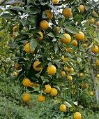Mandarin oranges on the tree