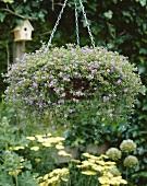 Violettblühende Schneeflockenblume (Bacopa)