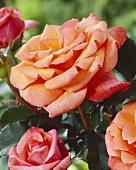 Rose 'Liane'