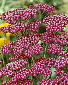 Red achillea (Achillea 'Summerwine')