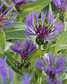 Perennial cornflower (Centaurea)