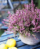 Calluna (heather) in a pot
