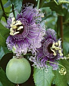 Passion flower, variety 'Byron Beauty' with flowers and fruit