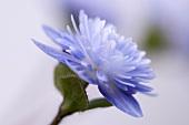 Blaues Japanisches Leberblümchen (Hepatica japonica)