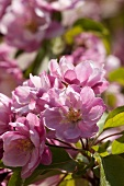 Ornamental apple blossom (Malus 'Van Eseltine')