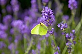 A butterfly sitting on a lavender flower