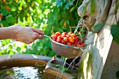 Cherries in a sieve being washed in a fountain