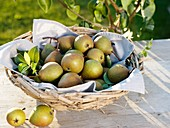 Freshly picked pears (variety 'Gute Graue') in basket