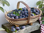 Freshly picked plums in a trug