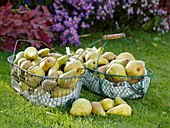 Freshly picked pears in wire baskets on grass