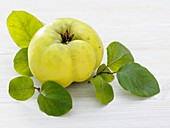 A quince with leaves