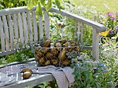 Freshly dug potatoes in wire basket on garden seat