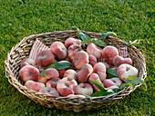 Vineyard peaches (variety 'Saturne') in wicker basket on grass