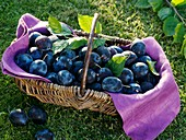 Plums (variety 'Hanita') in wicker basket on grass
