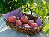Pluot (cross between plum and apricot) in wicker basket