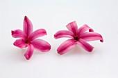 Hyazinthen (Hyacinthus orientalis), einzelne Blüten