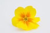 Blüte von Frühlingsprimel (Primula vulgaris syn. acaulis)