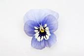 Blüte von Hornveilchen (Viola cornuta 'Callisto Marina')