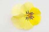 Hornveilchen (Viola cornuta 'Twix Yellow'), einzelne Blüte