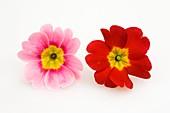Blüten von Frühlingsprimeln (Primula vulgaris syn. acaulis)