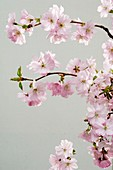 Ornamental cherry (Prunus sargentii 'Accolade')