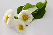 weiße Bellis (Sorte Rusher White)