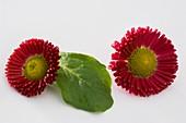 Rote Bellis (Sorte Rusher Red)