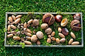 Acorns, nuts and chestnuts on moss in wooden tray