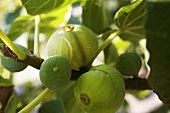Figs on the tree (close-up)